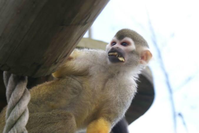 cheeky-squirrel-monkey