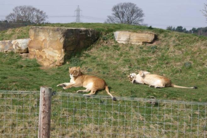 Lioness-sunbathing