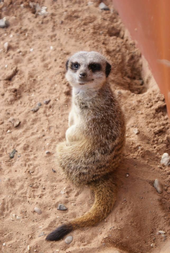 Smiley-meerkat