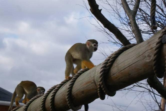 squirrel-monkey-beam